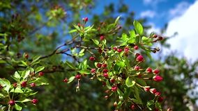 An Apple tree branch with red buds sways in light spring. An Apple tree branch with red buds sways in light spring wind against the blue sky on a Sunny day stock video
