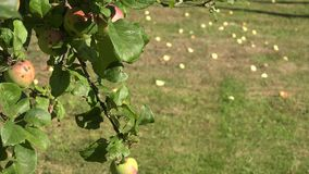 Apple tree branch with red ripe fruits and windfall apples lie on meadow grass. Focus change. 4K. Apple tree branch with red ripe fruits and windfall apples lie stock video footage