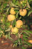 Apple Tree. Branch with ripen apples and green leaves in Fall Stock Photo