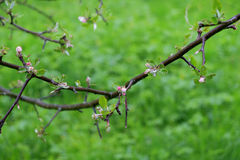 Apple tree branch with small flowers Royalty Free Stock Photo