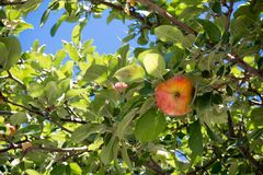 Apple Tree Branch with Some Apples Hanged in Summer. On Blue Sky Background royalty free stock images