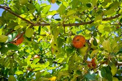 Apple Tree Branch with Some Apples Hanged in Summer. On Blue Sky Background stock image