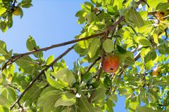 Apple Tree Branch with Some Apples Hanged in Summer. On Blue Sky Background stock photos