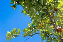 Apple Tree Branch with Some Apples Hanged in Summer. On Blue Sky Background stock images