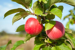 Apple tree branch with two red apples in rustic Royalty Free Stock Photos