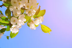 Apple tree branch with white blooming flowers under bright sunshine. Spring closeup natural background with copy space. Soft focus processing Stock Photo
