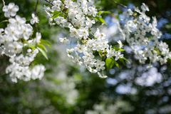Apple tree branch with white flowers on blurred background royalty free stock photo