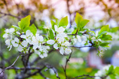 Apple tree branch with white flowers in garden Royalty Free Stock Photo