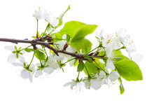 Apple tree branch with white flowers isolated Stock Images
