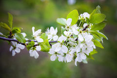 Apple tree branch with white flowers Royalty Free Stock Photo