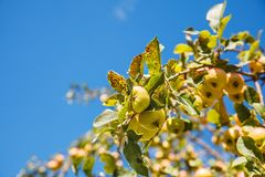 Apple Tree Branch With Fruits Royalty Free Stock Photos