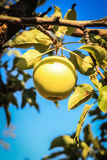 Apple on a tree branch Royalty Free Stock Photography