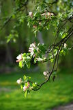 Apple tree branches. Branches of an old apple tree just beginning to blossom, brightly lit by the setting sun, with the background out of focus Royalty Free Stock Photos