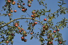Apple Tree Branches Royalty Free Stock Photos