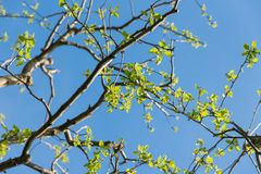 Apple tree branches. With fresh leaves on clear blue sky Royalty Free Stock Image