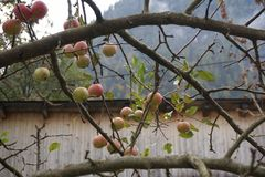 Apple Tree. Branches of apples Royalty Free Stock Image