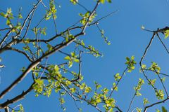 Apple tree branches background. Apple tree branches with fresh leaves on clear blue sky Stock Photo