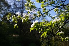 Beatiful Spring Apple Tree With White Blossoms In Bloom. Apple tree branches with blooming white flowers and green leaves in bright sunlight royalty free stock photos