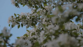 Apple tree branches in blossom. Spring time stock footage