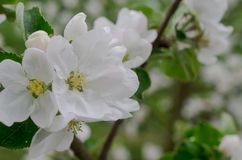 Apple tree branches covered with white flowers. stock image