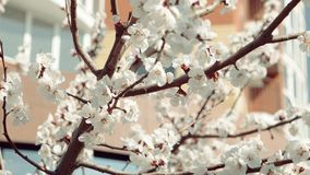 Apple tree branches in early Spring covered with beautiful flowers stock footage