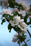 Apple tree branches in flowers. Stock Image