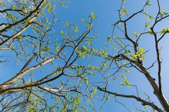Tree branches background. Apple tree branches with fresh leaves on clear blue sky stock photography