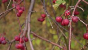 Apple-tree branches with fruits on wind. Harvest of ripe small apples stock video