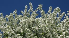 Apple Tree Branches Full Of Blossoming Flowers. The Branches Of The Apple Tree Are Full Of Blooming Flowers.Apple orchard. Full HD stock video footage
