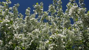 Apple Tree Branches Full Of Blossoming Flowers. The Branches Of The Apple Tree Are Full Of Blooming Flowers.Apple orchard. Full HD stock footage