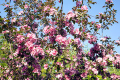 Apple tree branches with pink flowers spring closeup Royalty Free Stock Photography