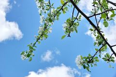 Apple tree branches white flowers blue sky clouds. Spring day royalty free stock photo