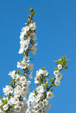 Apple tree branches with white flowers in spring Stock Image