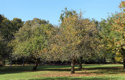 Apple tree in Brittany country Stock Photos