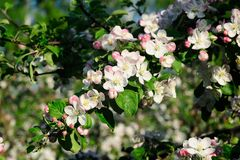 Apple tree brunch in bloom Stock Image