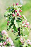 Apple tree brunch with buds Stock Photography