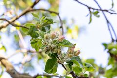 Apple tree bud close up, macro photo stock images