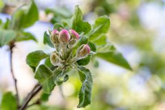 Apple tree bud close up, macro photo stock photo
