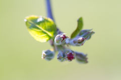Apple tree bud Stock Photo