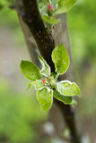 Apple tree bud Royalty Free Stock Photos