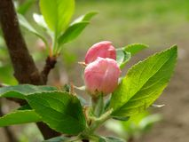 Apple tree buds Stock Photography