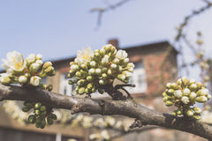 Apple tree buds on a branch copy space. Spring in a backyard flower buds Royalty Free Stock Image