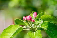 Apple tree buds Stock Photos