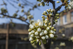 Apple tree buds and house in background blue sky Stock Photo