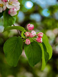 Apple tree buds. Stock Photography