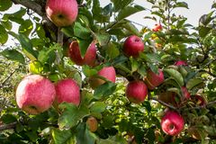 Free Apple Tree Bursting With Ripening Red Fruit In Farm Orchard Royalty Free Stock Photography - 121450197