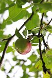Apple on the tree close up royalty free stock image