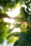 Apple on a tree royalty free stock photos