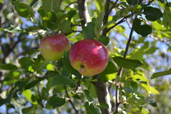Apple on tree Stock Image