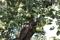 Apple tree close up Royalty Free Stock Images